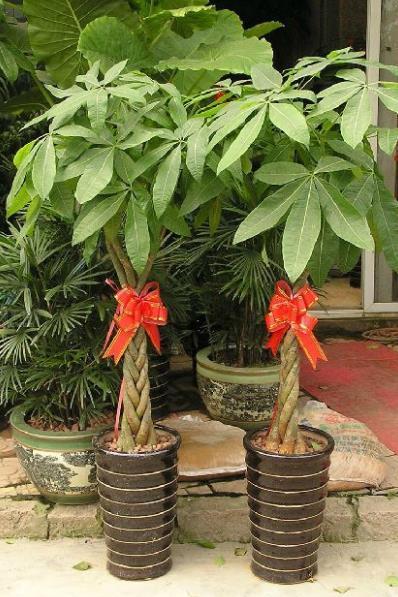 发财树如何栽培?发财树的种植方法
